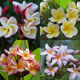 semillas frescas de arbol Rebajas 20 UNIDS / BOLSA Plumeria (Frangipani, Flor Lei hawaiana) Semillas, Semillas de flores exóticas raras Semillas de flores de huevo