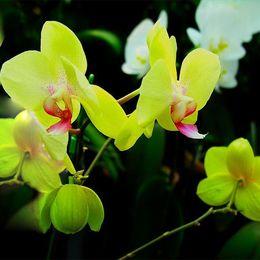 piantando pomodori di ciliegia Sconti Orchidee Phalaenopsis Orchidee Phalaenopsis - 200 PCS