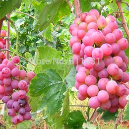 Wholesale giant fruit seeds - Hot Selling 30pcs lot Rare Species Grape Seeds Giant Red Grapes Bonsai Fruit Seeds DIY Home Garden Potted Plant Fruit Tree