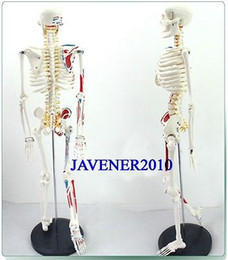 anatomy models Promo Codes - Wholesale- 85cm Human Anatomical Anatomy Skeleton Medical Model Muscle +Stand Fexible