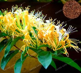 2019 rari fiori esotici Nuovo 2017 Giardino Piante 200 PZ Cape Caprifoglio (Tecomaria Capensis) Semi, freschi Semi di fiori Esotici Rare Semi di Bonsai sconti rari fiori esotici