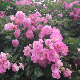 2019 escalando sementes de flores Rosa Escalada Rose Sementes Bonsai Flor para Interior de Quartos Semente 50 Partículas / lote z011 desconto escalando sementes de flores