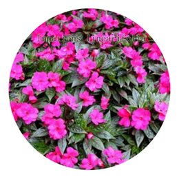 Wholesale impatiens flower - 500pcs a set Impatiens linearifolia flower Seed Hot Rare Seed Great Quality Great Service Great Price For You Life Is A Journey