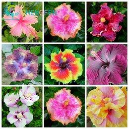 синенсис Скидка Гибискус семена 7KINDS гибискус Роза-SINENSIS семена цветов гибискус семена деревьев для цветочных горшечных растений легко расти
