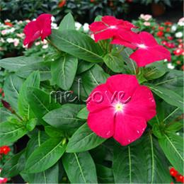 2019 flores tolerantes à seca Rosa Vermelha Madagascar Pervinca Flor 100 Sementes Catharanthus roseus Vinca para o Verão Tolerante à Seca desconto flores tolerantes à seca