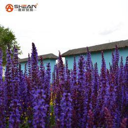 Wholesale Import Flowers - 100pcs bag Imported Provence Long String Deep Purple Lavender Seeds Lavandula angustifolia Flower Seeds Bonsai Potted Plants