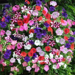 Pétunia Fleurs colorées 500 Voir Bricolage facile Jardin à la maison Bonsaï Conteneur Paysage Balcon Lits de fleurs Boîte Belle fleur annuelle ? partir de fabricateur