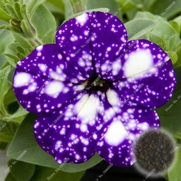 Wholesale Morning Glories Plants - 30pcs bag Picotee Blue Morning Glory seeds,rare petunia seeds,bonsai flower seeds,plant for home garden Easy to Grow!