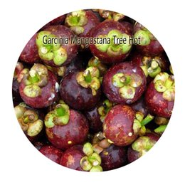 Wholesale Products Services - 8pcs a set Garcinia Mangostana Tree seed Hot Seed Rare Seed Great Service Great Quality Great Product