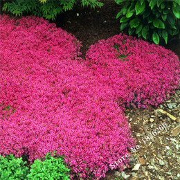 Wholesale ground covering - Flower seeds Creeping Thyme Seeds or Blue ROCK CRESS seeds - Perennial Ground cover garden decoration flower 40pcs AA