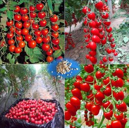 Wholesale Wholesale Seeds Fruits Vegetables - 4 pcs  set 2000 seeds lot cherry tomatoes,tomato tree seeds,Organic Heirloom vegetable fruit seeds,sweet and heathy for home garden planting