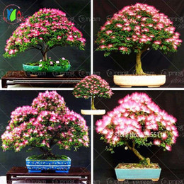 Wholesale Ornamental Flower Pots - 10 pieces bonsai Albizia Flower seeds called Mimosa Silk Tree ,seeds for flower potted plants free shipping ornamental-plant