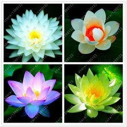 Wholesale Lotus Flowers Wholesale - fast shipping rare mixed COLORS lotus flower lotus seeds Aquatic plants bowl lotus water lily seeds Perennial Plant for home garden