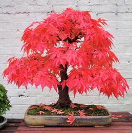 2019 bonsai di acero rosso giapponese 20 mini bella giapponese acero rosso semi di bonsai, fai da te bonsai, semi di acero fresco, spedizione gratuita bonsai di acero rosso giapponese economici