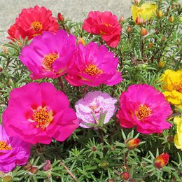 Wholesale Bonsai Roses - 500 Portulaca grandiflora Moss Rose Double Flower Mix Color Seeds Easy to Grow Drought-tolerant DIY Home Garden Bonsai Perennial Plant