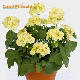 Fiori in vaso all'aperto online-Raro semi di geranio, 5 semi, giallo pelargonium pianta perenne in vaso fiori giardino interno / esterno