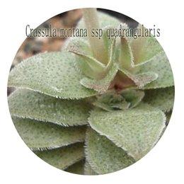Wholesale Montana Flowers - 50Pcs a set Crassula montana ssp quadrangularis Flower Seed Hot Rare Seed Retail And Wholesale Both Ok From Iris Hua