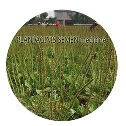 Wholesale First Medicine - 500Pcs a set PLANTAGINIS SEMEN medicine Seed Hot Rare Seed Customer First Retail And Wholesale From Iris Hua In China Thank You
