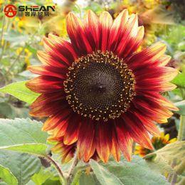 semi di elioanthus Sconti 50 semi / sacchetto Rare semi di girasole rosso ornamentali semi organici di Helianthus annuus semi di piante da giardinaggio