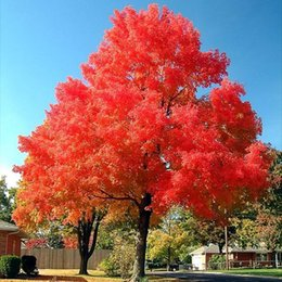 Wholesale trees wholesale red maple - 100% True Japanese Red Maple Bonsai Tree Cheap Seeds, Professional Pack, 20 Seeds   Pack, Very Beautiful Indoor Tree