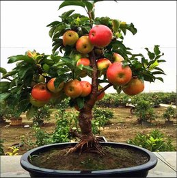 Wholesale Plants Sand - 500pcs Bonsai Apple Tree Seeds apple seeds (used wet sand sprout sweet red meat, potted fruit trees for home garden plant fruit trees )