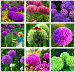 Wholesale Onions Seeds - Creative Plant 100pcs Giant Onion Seeds Allium Giganteum Flower Seed Flower Bonsai Plant DIY Home Garden plant Free Shipping