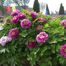 Wholesale Paeonia Seeds - Purple Peony Flowers Potted Plants Seeds Beautiful Courtyard Terrace Garden Planted Chinese Paeonia suffruticosa Seeds 10 PCS