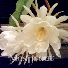 Piante bonsai vive online-Clematis Courtoisii Seeds Piante in vaso Colori misti Semi di fiori bonsai 100 pezzi / borsa soggiorno decorazione interna Fiore raro