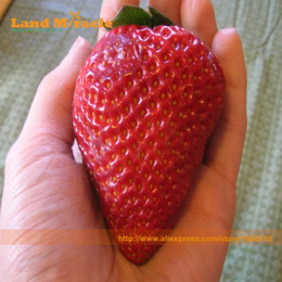 Wholesale Pack Sweets - Giant Red Strawberry, 100 Seeds pack, Super Sweet Fruit Berries Seeds Apple Sized