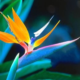 2019 piante da giardino di uccelli Semi di fiori 30 pezzi di colore Strelitzia reginae semi ibridi uccello paradiso seme Bonsai piante Semi per giardino di casa piante da giardino di uccelli economici