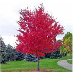 Wholesale Trees Wholesale Red Maple - wholesale hot selling good quality JAPANESE RED MAPLE TREE WITH HERMETIC PACKAGE * VERY BEAUTIFUL * JAPAN MAPLE NEW SEEDS free shipping