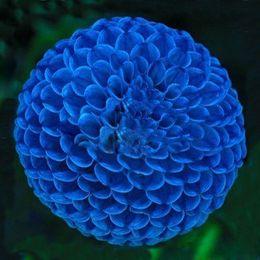 Shop perennials blue flowers uk perennials blue flowers free perennials blue flowers uk wholesaleunique blue fireball dahlia seeds beautiful flower seeds perennial plant dahlia mightylinksfo