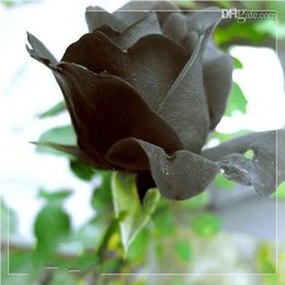 Wholesale China Plant Pots - China Rare Black Rose Flower seeds Balcony Potted Barrier Flowers seeds Garden Plants 50 seeds per lot