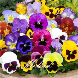 "Wholesale Grow Pot Seeds - Pansy ""Swiss Giants Mixture"" (Viola) Flower 100 Seeds  Pack for DIY Home Garden Bonsai Container or Landscape Flower Bed or Pot Growing"