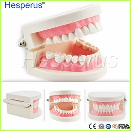 Wholesale Tooth Model Study - Low price Hot sale Oral health care dental Tooth model Medical student needs the studying model