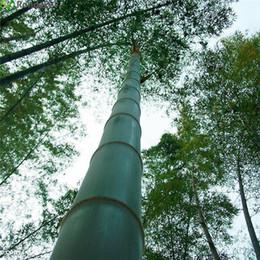 100шт/мешок гигантские семена moso бамбук Мосо бамбук дерево семена Дом Сад семена бамбук от
