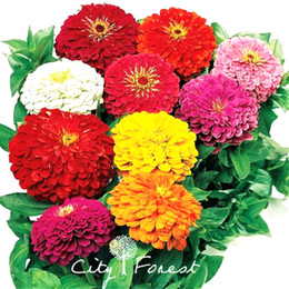 Wholesale Grow Double - Giant Zinnia Double Blossom Flower 100 Seeds Mix Color Hardy Drought-tolerant Easy-growing DIY Home Garden Bonsai Container Landscape