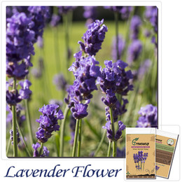 Wholesale Bonsai flower seeds English lavender seeds lavender angustifolia imported vanilla seeds of native species seeds
