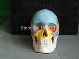 Wholesale Dentist Model - Wholesale- SHUNZAOR life size Human anatomy skull brain skeleton anatomical dental dentist lab anatomia model skin in trauma for bag refrig