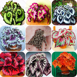 Wholesale Flowers Begonia - 100pcs bag begonia seeds bonsai flower seeds courtyard balcony Coleus seeds begonia plants potted for home garden