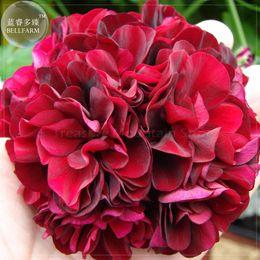 Wholesale Geranium Seeds - BELLFARM Geranium Black Rose Pelargonium Seeds, 10 Seeds, Professional Pack, pelargonium perennial big blooms BD084H