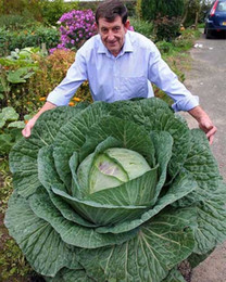Wholesale Rare Russian - 200Seeds Bag Rare Giant Russian Cabbage Seeds, Vegetable Seeds 95%+ Germination, High-Quality Vegetable for home garden