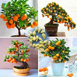 Wholesale Fruit Tree Flowers - 40  Bag Bonsai Orange Tree Seeds Organic Fruit Tree Seeds For flower pot planters very big and delicious