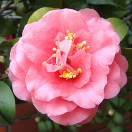 A Pack 100 Pcs Semi di camelia rosa Piante in vaso Giardino di fiori Semi in vaso Bonsai Albero semi di Camelia comune da