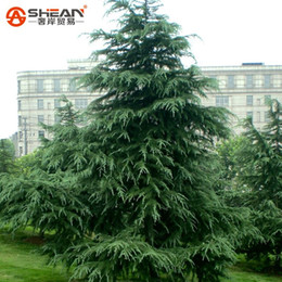 semi di pino Sconti Cedro Evergreen Forest Seed Woody Perenne, Cedar Piante in vaso Bonsai Pine Tree Seeds for Home Garden 10 Pezzi / lottp