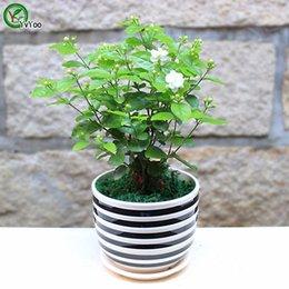 2019 giardino di gelsomino Semi di gelsomino Semi di fiori bonsai Giardino domestico Semi di fiori bonsai Piante in vaso Fiori 30 Particelle / Sacchetto t018 giardino di gelsomino economici