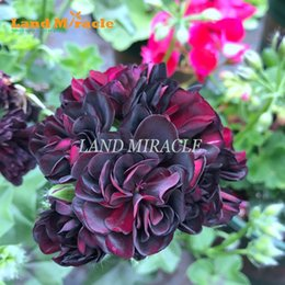 bonsai di acero rosso giapponese Sconti 5 PZ Rare Semi di Geranio Nero Rosa Pelargonium Semi di Fiori Perenni Pianta Hardy Bonsai Pianta In Vaso Spedizione Gratuita