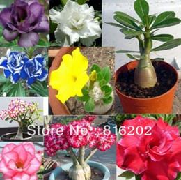 Semi di adeno online-wholesale10 seeds / pack Vendita calda Bonsai Desert Rose Semi di Fiori adenium obesum Seedsplant bonsai