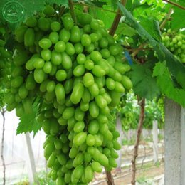 Wholesale Real Fruits - 100% real green grape seed soft finger biological professional pack 30 seeds   pack, hardy delicious fruit plant k28