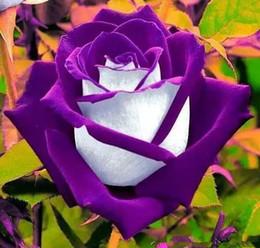перцовый перец Скидка 200 шт Красный дракон Роза семена, редкие бонсай цветы семена растений